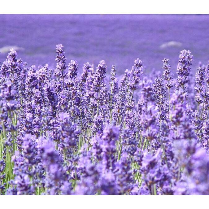 Romantic Purple Flowers Field