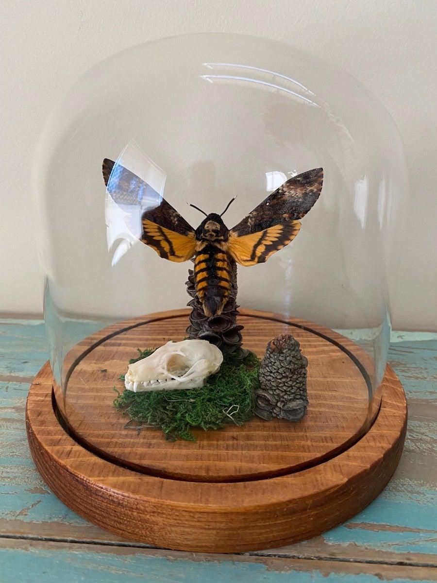 Acherontia lachesis Death Head Moth in a Dome