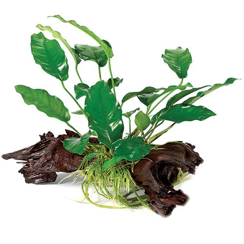 Pisces Anubias Driftwood Creation Small