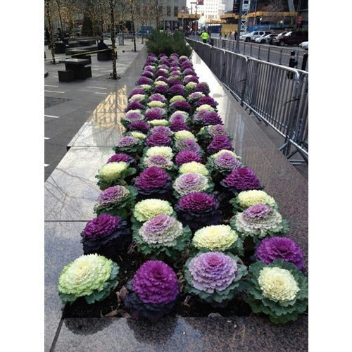 FLOWERING CABBAGE 'Ornamental Mix' seeds